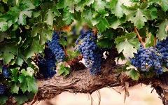 виноградная-лоза